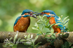 Adult Kingfisher feeding Juvenile (Novisteel) Tags: birds spring flickr wildlife kingfisher ngdphotos