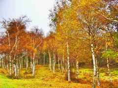 Birches at Ramsvikslandet, Swedish westcoast (iEagle2) Tags: birch ramsvik swedishwestcoast hdrtist