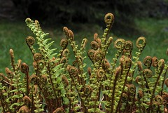Farnwedel (foto G.HAAS) Tags: pflanze farn gefaessporenpflanze