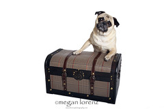 Why are you packing again?  How can you leave us?! (Megan Lorenz) Tags: trip travel dog pets puppy studio pug canine case whitebackground trunk getty breed mack isolated carlin mops mlorenz meganlorenz