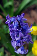 Hyacinth (Ivo Angelov) Tags: flowers photography spring purple hyacinth
