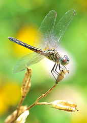 Female Blue Dasher (jwinfred) Tags: macro nature mississippi nikon sigma insects delta 300mm cypress preserve greenville f4 d300
