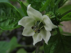 Blossoms ... pepper!   (series) (halina.reshetova) Tags: summer white plant black flower green june pepper blossom vegetable pistil stamen bloom blossoming ovary bloomy hennysgardens