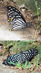 Common Mime (Nikita Hengbok) Tags: nature animal fauna butterfly insect moth naturephotography commonmime butterfliesmothsofsingapore insectsofsingapore animalsofsingapore wildlifeofsingapore