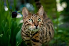 The dangerous djungle cat (Niightwalker) Tags: green cat garden 50mm nikon nikkor 18 bengal azrael d90 djungle
