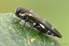 Dark wood-borer I (Nikola Rahme) Tags: macro insect beetle naturallight coleoptera focusstack buprestidae fieldshooting jewelbeetle canoneos5dmarkii canonmpe65mmf28 berlebachminitripod optosigmalinearstage asahipentaxmacrorail