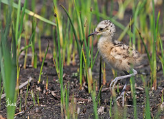 Long-billed Curlew Chick - 1004b+sg (teagden) Tags: baby bird photography spring babies wildlife chick shore avian 2012 curlew longbilledcurlew shorebird longbilled wildlifephotography jenniferhall sicklebird