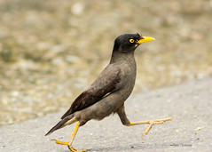 1,2,3,4 and... (BorisWorkshop (130k+ views, thanks)) Tags: taiwan alian commonmyna freedomtosoarlevel1birdphotosonly