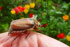 On My Hand (ivlys) Tags: nature bug germany insect deutschland spring wilderness darmstadt frühling maikäfer cockchafer wildnis minigarden melolonthamelolontha ivlys
