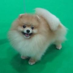 ค้นเมมโมรี่การ์ดอันเก่า เจอรูปโอมเพี้ยง จากพี่ฝน  ขอบคุณมากนะครับที่ส่งให้  หาตั้งนานนน เพิ่งเจอวันนี้ล่ะ   #โอมเพี้ยง #petstagram #petworld #pomstagram #pom #Pomeranian #pomworld #poms #pomaddict #Pommania #animals #animal #dog #dogfood #dogstagram  #fem