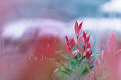 .:: Pucuk Merah ::. (omjinphotography) Tags: red plants green nature leaf outdoor plasticlens 50mmlens rebelt3 pucukmerah syzygiumoleana omjinphotography