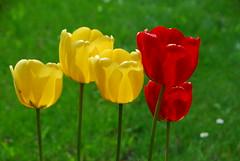 Tulips (petrk747) Tags: flower nature flora village tulips tulip slovakia roztoky saariysqualitypictures