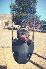 Attachment (Art Costello) Tags: dog puppy hilarious funny image lol awesome humor picture bulldog swing laugh haha caption answer