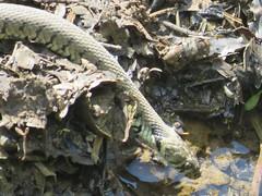Grass snake (Diane Stobart) Tags: river wildlife grasssnake natrixnatrix