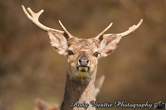 2016-05-04-042 (Andy Beattie Photography) Tags: uk england nature mammal photography europe photographer wildlife yorkshire deer halifax ungulate northyorkshire westyorkshire ripon eventoed pecora cervusnippon sikadeer hoofed andybeattie andybeattiephotography