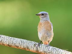 Bluebird in the Pine (Rick Derevan) Tags: california bird bluebird westernbluebird sialiamexicana