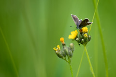 butterfly (cosovan.vadim) Tags: light flower nature field grass yellow butterfly spring nikon natural bokeh outdoor d750 tamron depth 70200mm