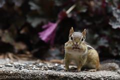 What did you say?  (Explored) (dbifulco) Tags: nature yard backyard wildlife easternchipmunk