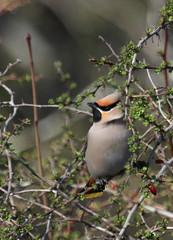 Bohemian Waxwing (jd.willson) Tags: bird nature birds island bay wildlife birding maine jd rare bohemian waxwing penobscot willson islesboro irruptive jdwillson