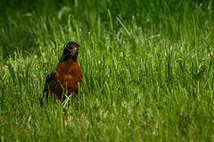 Red Robin (Marcy Leigh) Tags: bird nature robin grass outdoors redrobin redbreasted 116picturesin2016