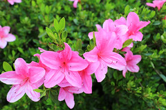 IMG_3002.JPG (robert.messinger) Tags: flowers rhodies