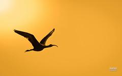 Morito comn (Plegadis falcinellus. Linnaeus, 1766) (EcoFoco juanma.coria) Tags: espaa naturaleza valencia fauna contraluz atardecer aves verano crevillent elche comunidadvalenciana humedal parquenaturaldeelhondo moritocomnplegadisfalcinelluslinnaeus1766