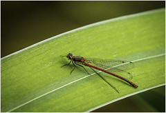 Large Red Damselfly (male) (cconnor124) Tags: macro nature insects canoneos naturephotography damsels largereddamselfly flyinginsects uknature insectmacro insectphotography shieldofexcellence canon100400lens canon760d