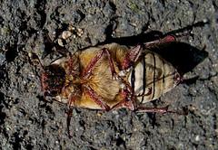 Хрущ мраморный / Polyphylla fullo / Pine Chafer / Walker (Türkischer Maikäfer) (katunchik) Tags: scarabaeidae melolonthini polyphylla taxonomy:binomial=polyphyllafullo türkischermaikäfer geo:country=bulgaria