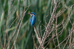 _F0A9437.jpg (Kico Lopez) Tags: birds rio spain maria aves galicia lugo mio alcedoatthis martnpescador