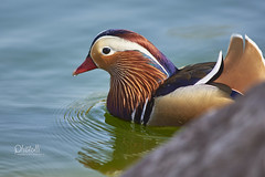 Mandarinente (Photolli66) Tags: animal duck mandarin ente tier vogel mandarinente
