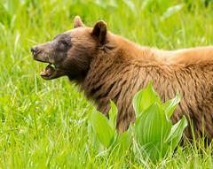 Grass-eater (Rick Derevan) Tags: bear landscape sierra sequoia sequoianationalpark blackbear ursusamericanus sequoianp americanblackbear