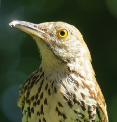 Brown Thrasher (joanspictures1) Tags: portrait minnesota canon powershot songbird brownthrasher backyardbirds champlin
