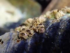Yaquina Head tide pools, barnacles (BLMOregon) Tags: ocean tide pacificocean pacificnorthwest oregoncoast yaquinahead tidepools tidepool yaquina