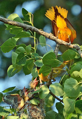 Oriole family portrait (ctberney) Tags: tree birds babies nest father mother baltimoreoriole