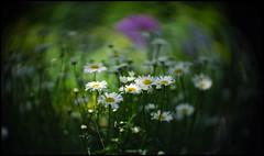 Angenieux 70mm f1.5 Bokeh (Lens Bubbles) Tags: music toronto garden lens french bokeh angenieux f15 70mm