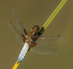 Broad Bodied Chaser (Lesley Danford) Tags: nature nikon dragonfly wildlife broad chaser bodied d7100