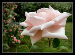 wnsche euch ein schnes Wochenende !!! (karin_b1966) Tags: plant flower nature garden blossom natur pflanze blume blte garten 2016 rosenewdawn yourbestoftoday roseleonardeodavinci