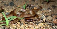 Red-naped Snake (Furina diadema) (elliotbudd) Tags: snake queensland diadema townsville elapidae rednaped naped elapid furina