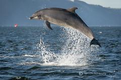 Jumping Moray Firth Dolphin (cjdolfin) Tags: nature mammal scotland marine alba dolphin wildlife scottish highland splash marinemammal morayfirth cetacean bottlenosedolphin tursiopstruncatus fortrose rossshire chanonrypoint cjdolfin odontocete