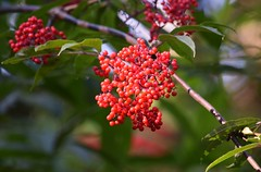 Berries (careth@2012) Tags: berries
