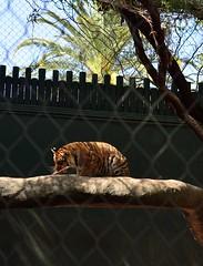 Tiger cub Hirah (kerry richardson) Tags: white tiger mirage secretgarden hirah