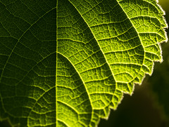 Scattering life (johnny.cvetkovic) Tags: life light macro green nature beautiful closeup leaf amazing waves pattern earth cell
