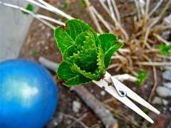 stem tag (muffett68 ) Tags: macro hydrangea bud clothespins 100possibilitiesproject