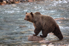 Grizzly River (820-Photography by James Anderson) Tags: bear mountains river britishcolumbia rocky rockymountains grizzly kootenaynationalpark kootenayriver jamesanderson kootneay japhotography jamesa1 pathfinderblues 888pathfinder 818pathfinder