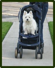 """I sorta like this"" (ellenc995) Tags: friends riley ride stroller westie westhighlandwhiteterrier ruby3 coth supershot akob abigfave pet100 platinumheartaward rubyphotographer 100commentgroup hganimalsonly naturallywonderful ruby15 thesunshinegroup"