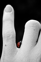 Lady in red (ms holmes) Tags: blackandwhite bw closeup insect hand details fingers pinky ladybird ladybug sw nah insekt ladybeetle coccinelle marienkfer mariquita selectivecolouring schwarzweis canoneos1000d