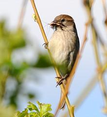 DSC_7602 (PeaTJay) Tags: dunnock sparrow gardenbirds carlsbirdclub