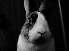 Mikko B&W (Alastair Cummins) Tags: portrait bw pet rabbit bunny animal bun mikko