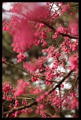 Beautiful flower (d-k-t) Tags: trip travel canon hongkong eos m42 cerasus 450d img7095 kadooriefarmandbotanicgarden carlzeissjenapancolar5018zebra  campaulata
