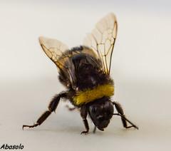 Bombus sp. sobre fondo blanco (Abasolo2011) Tags: insecto allofnatureswildlifelevel1
